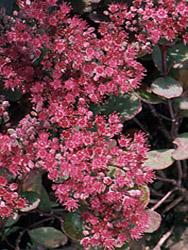 Roter Mauerpfeffer schattenpflanzen stauden anbau und pflege