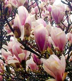 magnolienbaum bl ht nicht magnolien vermehren. Black Bedroom Furniture Sets. Home Design Ideas